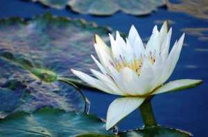 lotus_white