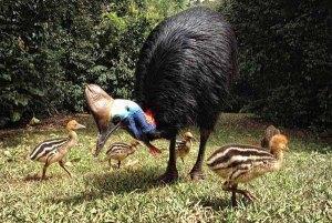 Male Cassowary & Chicks
