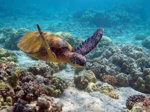 Great_Barrier_Reef_Sea_Turtle