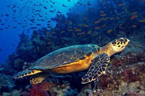 Hawksbill_Sea_Turtle_Adult